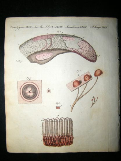 Bertuch 1804 Hand Colored Print. Microscopic Observations on the Tongue | Albion Prints